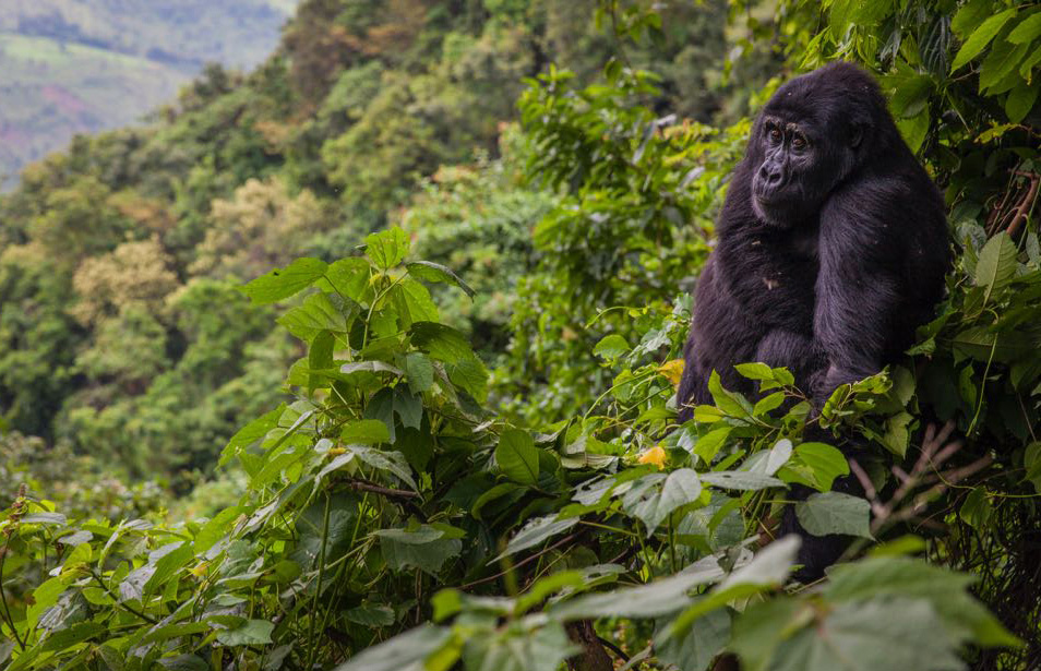 Gorilla Safaris - mountain gorilla trekking