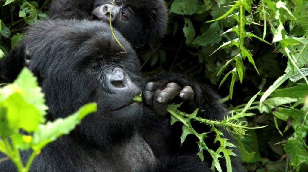 2 Days Rwanda Gorilla Safari - Mountain Gorillas In Volcanoes National Park
