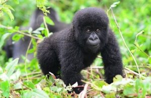 baby mountain gorilla - gorilla trekking safaris (gorilla safaris)