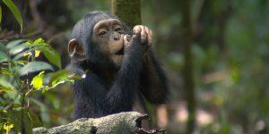 7 days rwanda safari -chimp tracking in rwanda
