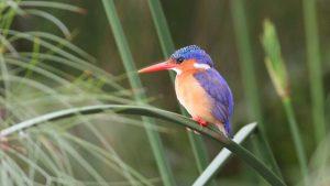 Uganda Birding Safari-kingfisher