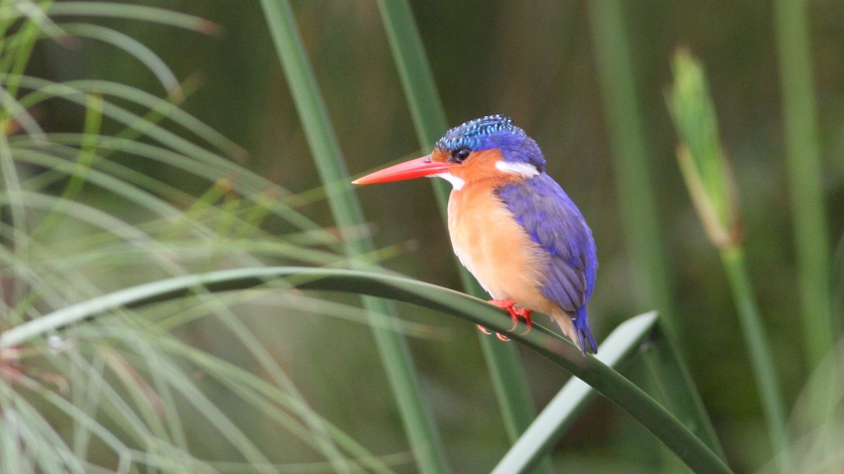 Uganda Birding Safari-kingfisher