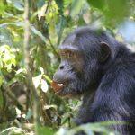 14 Days Primates And Big Five Safari - The Best Long Uganda Wildlife Safari (Chimpanzee)