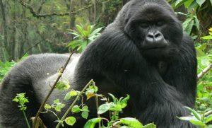 3 Days Bwindi Gorilla Safari Uganda gorilla trekking safaris tours