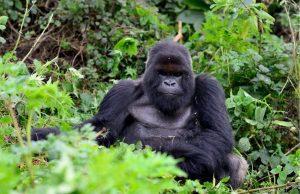 3 Days Rwanda Gorilla Tour - Mountain Gorilla
