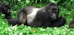 a Mountain gorilla seen on a 3 Days Rwanda Gorilla Tour - Short Rwanda Gorilla Trekking Safari