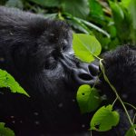 6 Days Uganda Gorilla Safari - mountain gorilla eating/feeding
