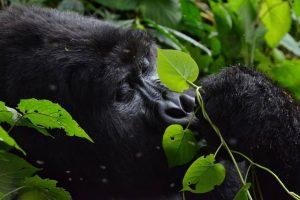 6 Days Uganda Gorilla Safari - mountain gorilla eating/feeding
