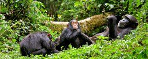 7 Days Uganda Wildlife Safari - Chimp Tracking In Kibale Forest national park