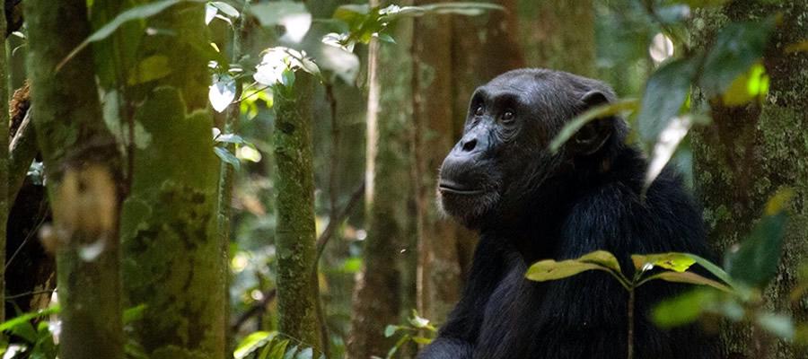 Chimpanzee in Kiable Forest: 14 Days Primates And Big Five Safari - The Best Long Uganda Wildlife Safari