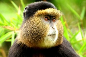 Golden monkey in Mgahinga Gorilla National Park Uganda Where Gold meets Silver