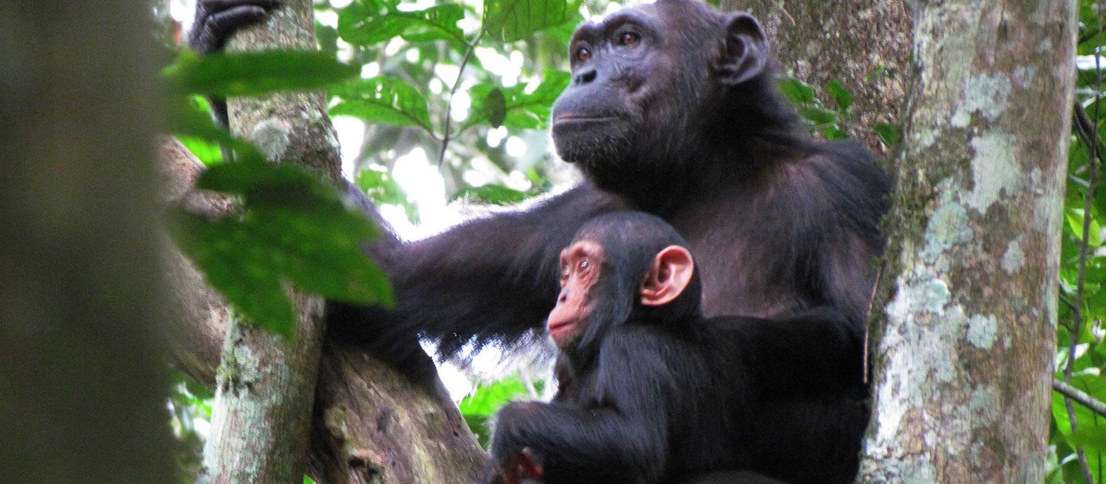 a Chimpanzee in Kibale forest National park - 14 days gorilla safari and wildlife safari