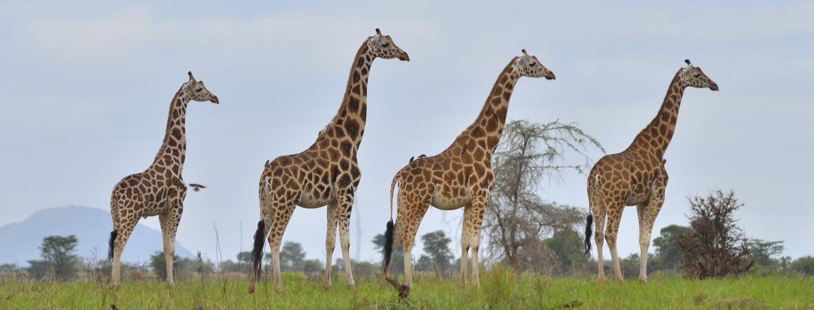 Kidepo Valley National Park giraffe