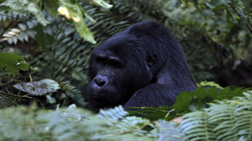 Mountain gorilla in Mgahinga Gorilla National Park