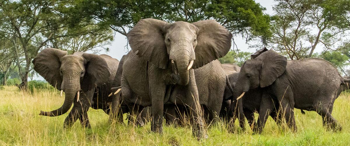 Elephants on a 6 Days Uganda Gorilla Safari - Popular Long Uganda Gorilla Trekking $ Wildlife Tour