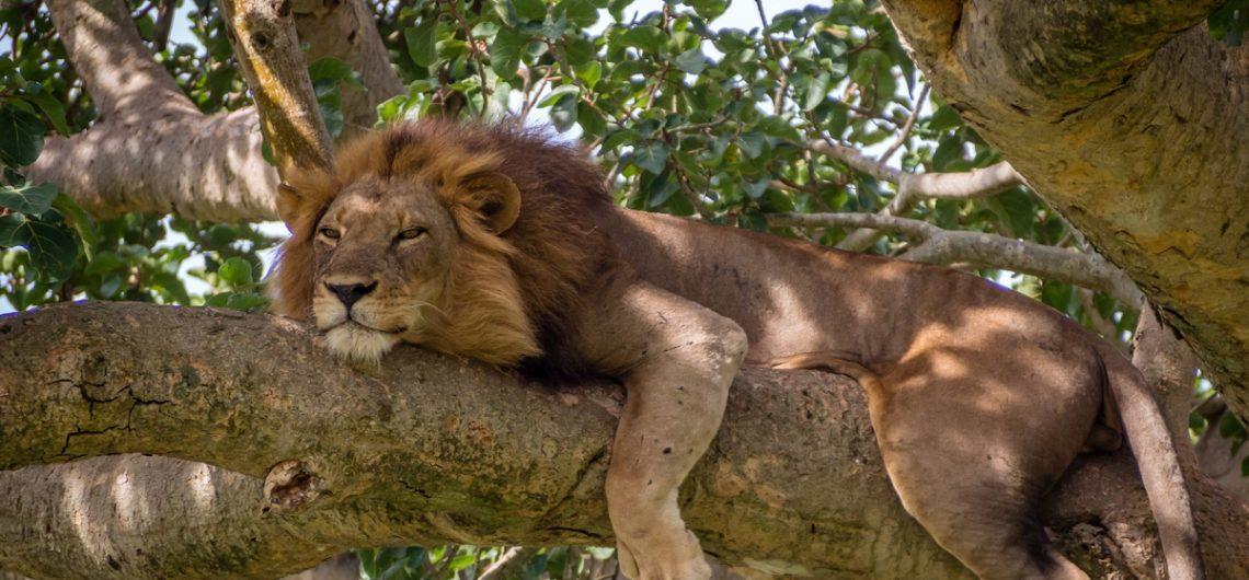 Tree Climbing Lions in Queen - 7 days Rwanda Uganda safari