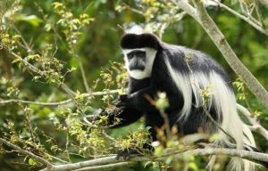 7 Days Rwanda Primates Safari - Top Cheap Long Rwanda Gorilla Trekking Tour - white colobus monkey