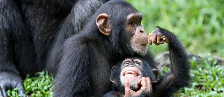 6 Days Uganda Gorilla Safari - Popular Long Uganda Gorilla Trekking $ Wildlife Tour - chimps