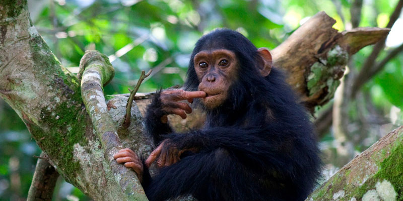 Rwanda Uganda Safari - chimpanzee tracking