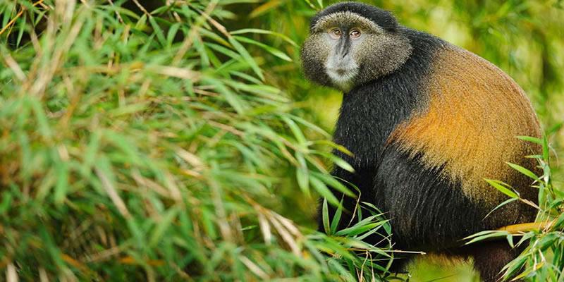 7 days Rwanda Uganda safari - Golden Monkeys