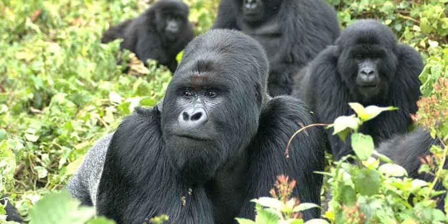 3 Days Bwindi Gorilla Safari - Best Short Uganda Gorilla Safari Tour