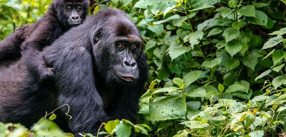 mountain gorilla on a 14 days gorilla safari and wildlife safari
