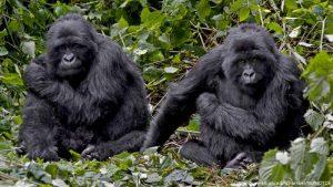 7 Days Uganda Safari - Best Long Uganda Wildlife & Gorilla Trekking Tour - mountain gorillas