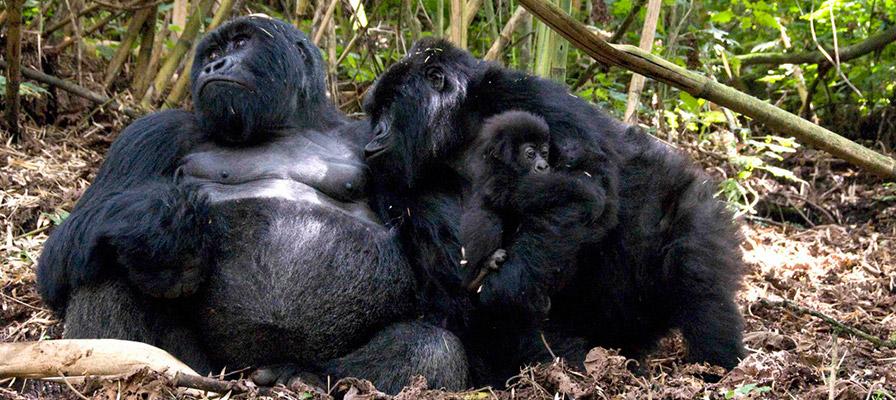 mountain gorillas - 7 days Rwanda Uganda safari