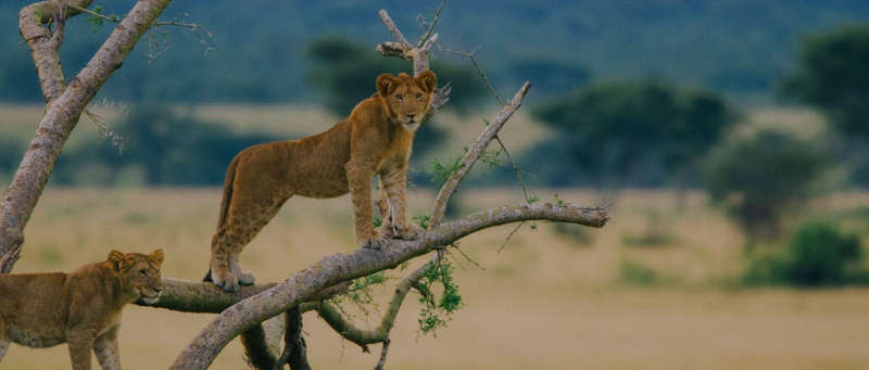 lions on a 3 Days Queen Elizabeth National Park