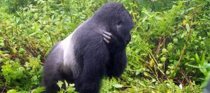 silverback gorilla -6 Days Uganda Gorilla Safari - Popular Long Uganda Gorilla Trekking $ Wildlife Tour