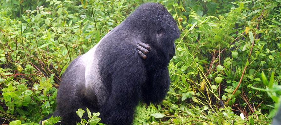 silverback gorilla -6 Days Uganda Gorilla Safari - Popular Long Uganda Gorilla Trekking $ Wildlife Tour