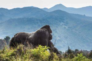 Where To Go For Gorilla Trekking