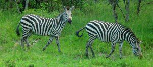 zebras at lake Mburo national park - 7 Days Uganda Safari - Best Long Uganda Wildlife & Gorilla Trekking Tour