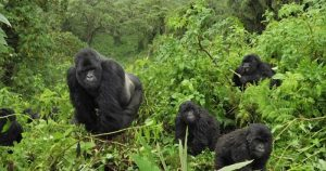 10 Days Uganda safari - mountain gorillas in Bwindi