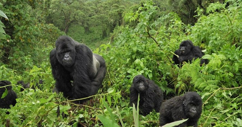 10 Days Uganda safari - mountain gorillas in Bwindi