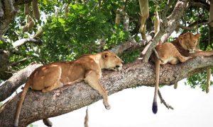 tree climbing lions on a 10 Days Uganda safari