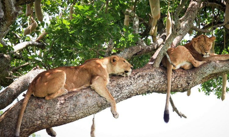 tree climbing lions on a 10 Days Uganda safari