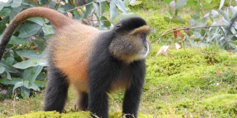 3 Days Golden Monkey Batwa Safaris - golden monkey tracking