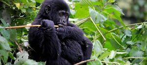 3 Days Gorilla Trekking Safari - mountain gorilla
