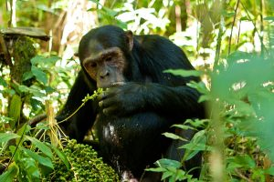 3 Days Kibale Primate Safari: Short Chimpanzee Tracking Safari