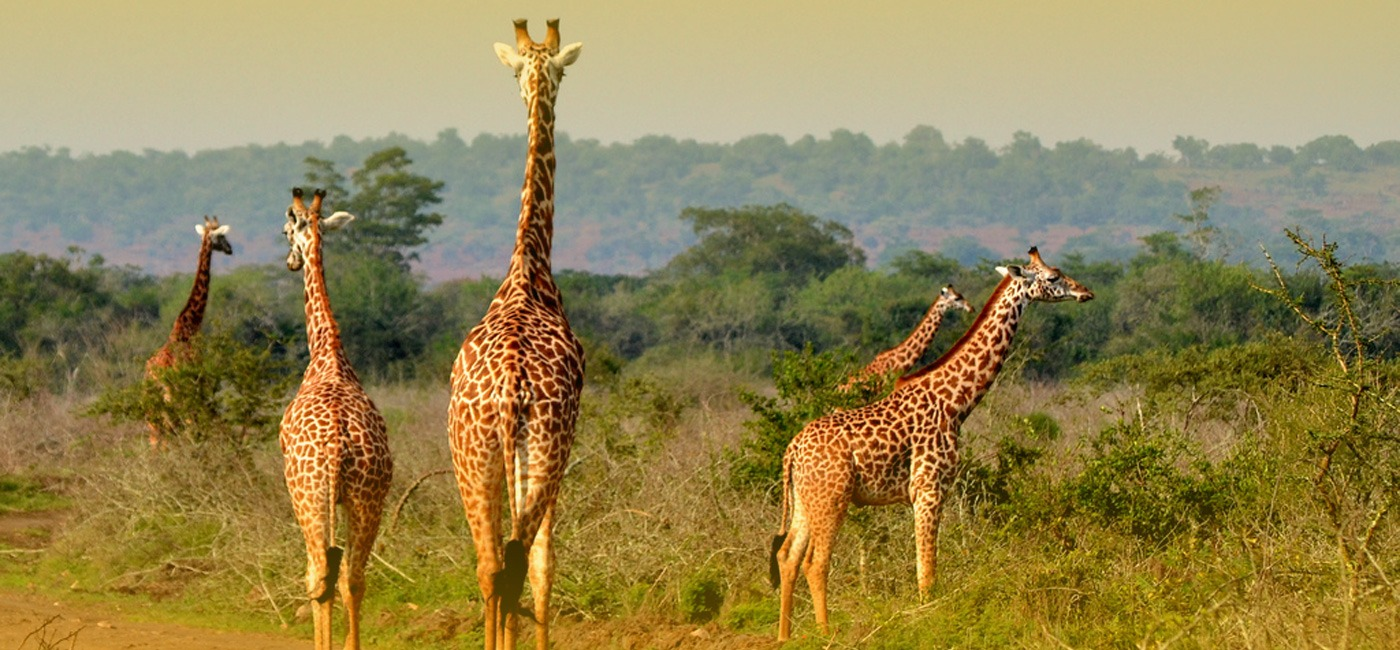 4 Days Rwanda Gorilla And Wildlife Safari - giraffes