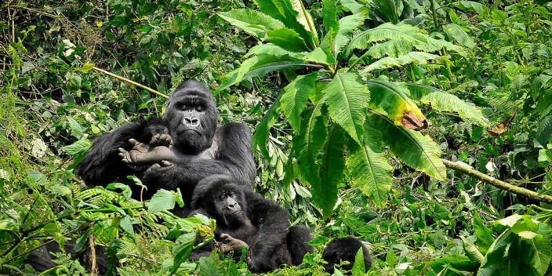 4 Days Rwanda Gorilla And Wildlife Safari - mountain gorillas