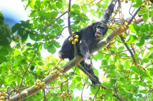 Chimpanzee Tracking Parks