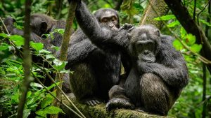 Where to go for Chimpanzee Tracking?