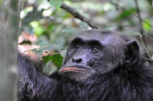 Where to go for Chimpanzee Tracking and trekking