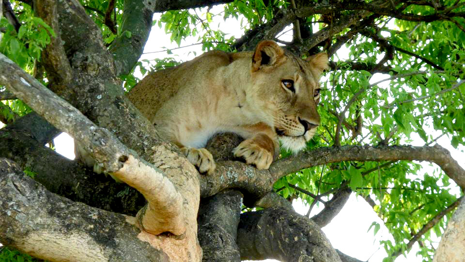 tree climbing lion on a 4 Days Queen Elizabeth Wildlife Safari Uganda
