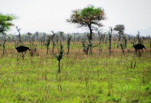ostriches in Pian Upe Wildlife Reserve