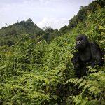 mountain gorilla in Volcanoes National Park Rwanda