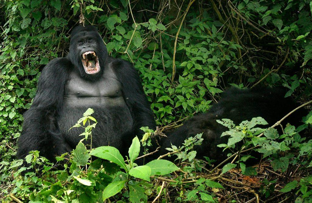 mountain gorillas in Virunga National Park Democratic Republic of Congo