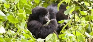 2 Days Gorilla Trek Uganda Tour